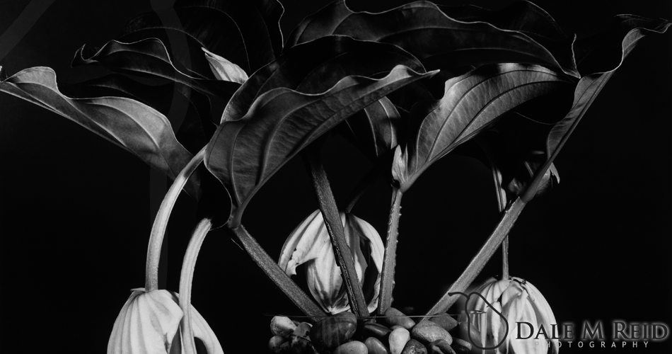 Dale M. Reid Photography. The Mendinilla Magnifica #1. 2012. Floral studies detail